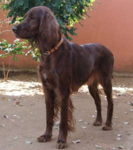 Coco the Irish Setter