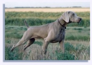 Weimaraner on Point