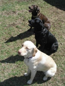 Three main Labrador colours